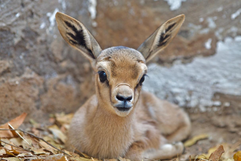 Gazelle de Pelzen par Pascal Le Brun