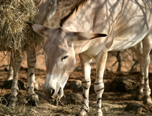L'âne sauvage