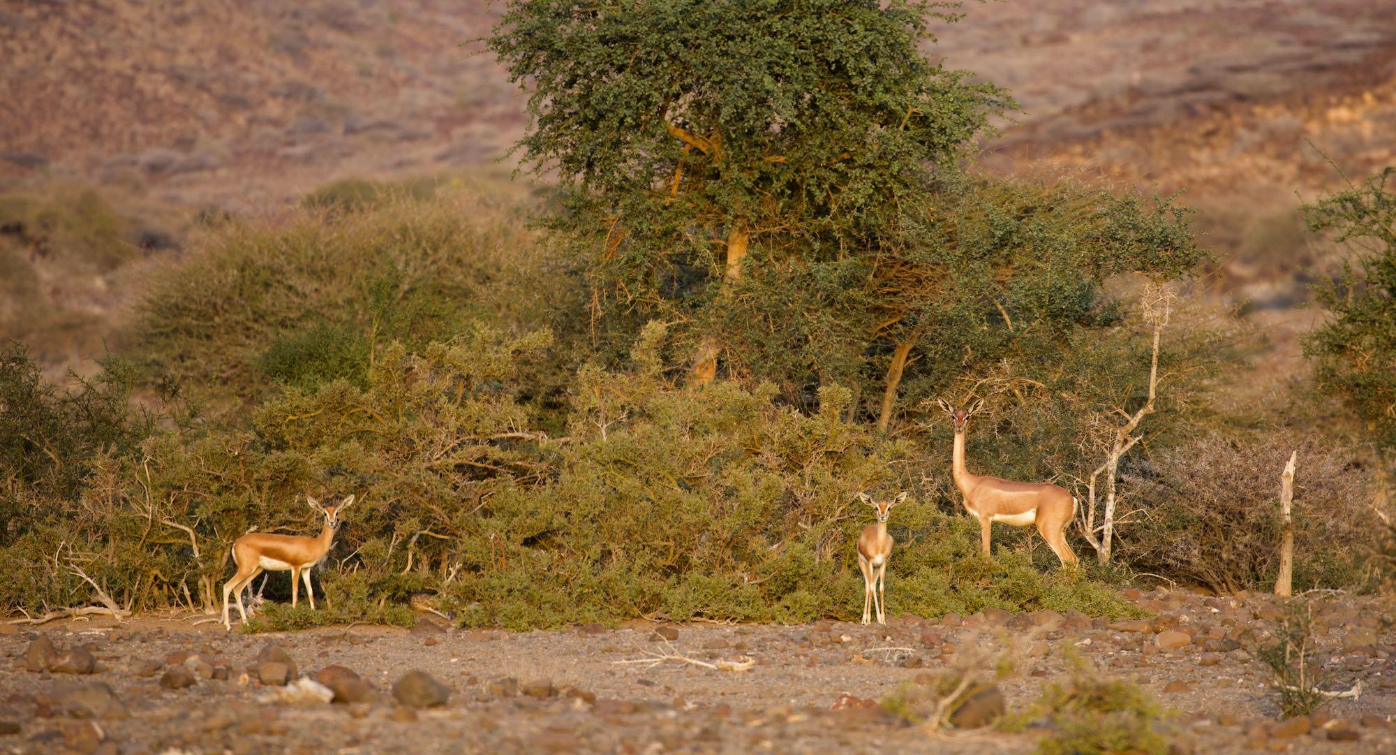 decan assamo gazelle girafe gazelle de pelzeln