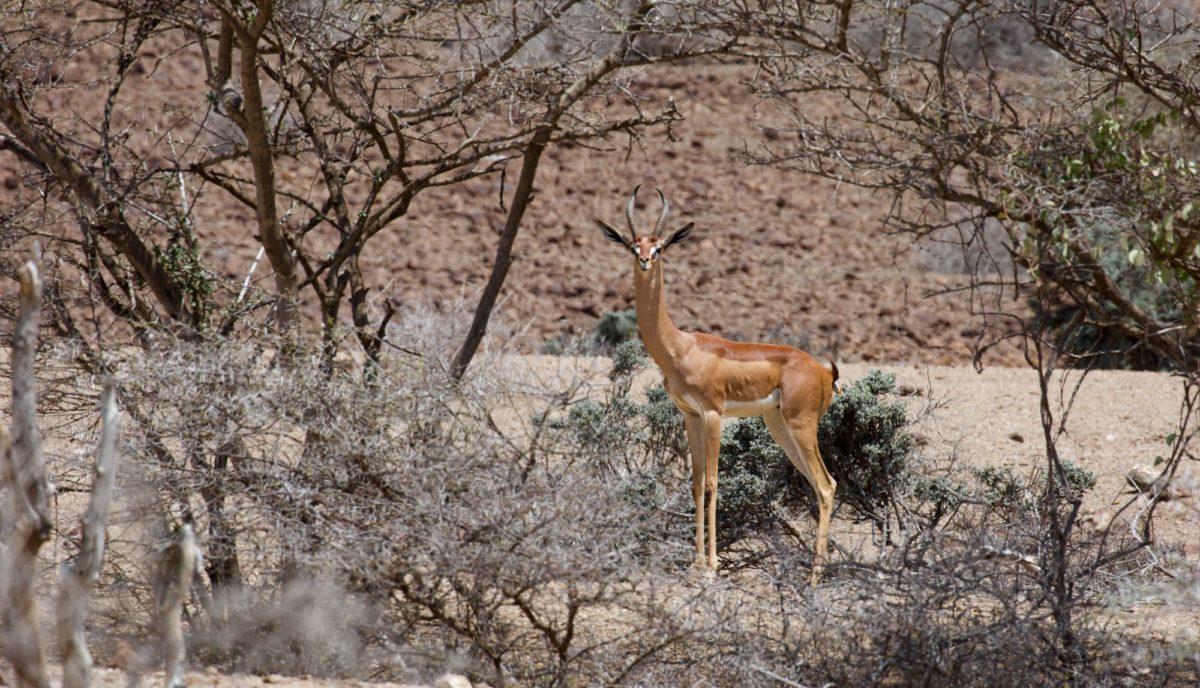 decan djalelo Gazelle Gerenuk