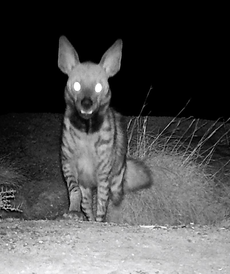 decan djalelo hyene