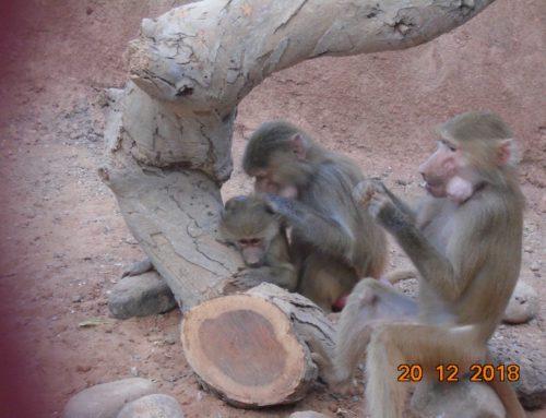 Trois babouins du royaume de Barhein réfugiés à Décan