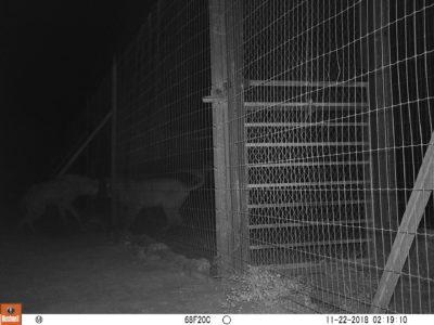 decan refuge lionne hyene