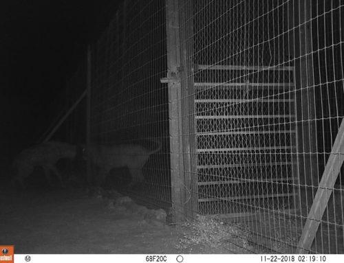 Une hyène tachetée en liberté au refuge