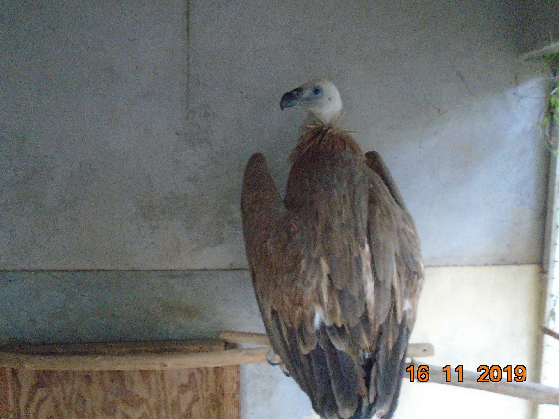 vautour fauve nelson