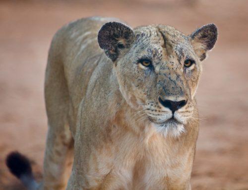 Notre lionne Amalia est arrivée en Ethiopie
