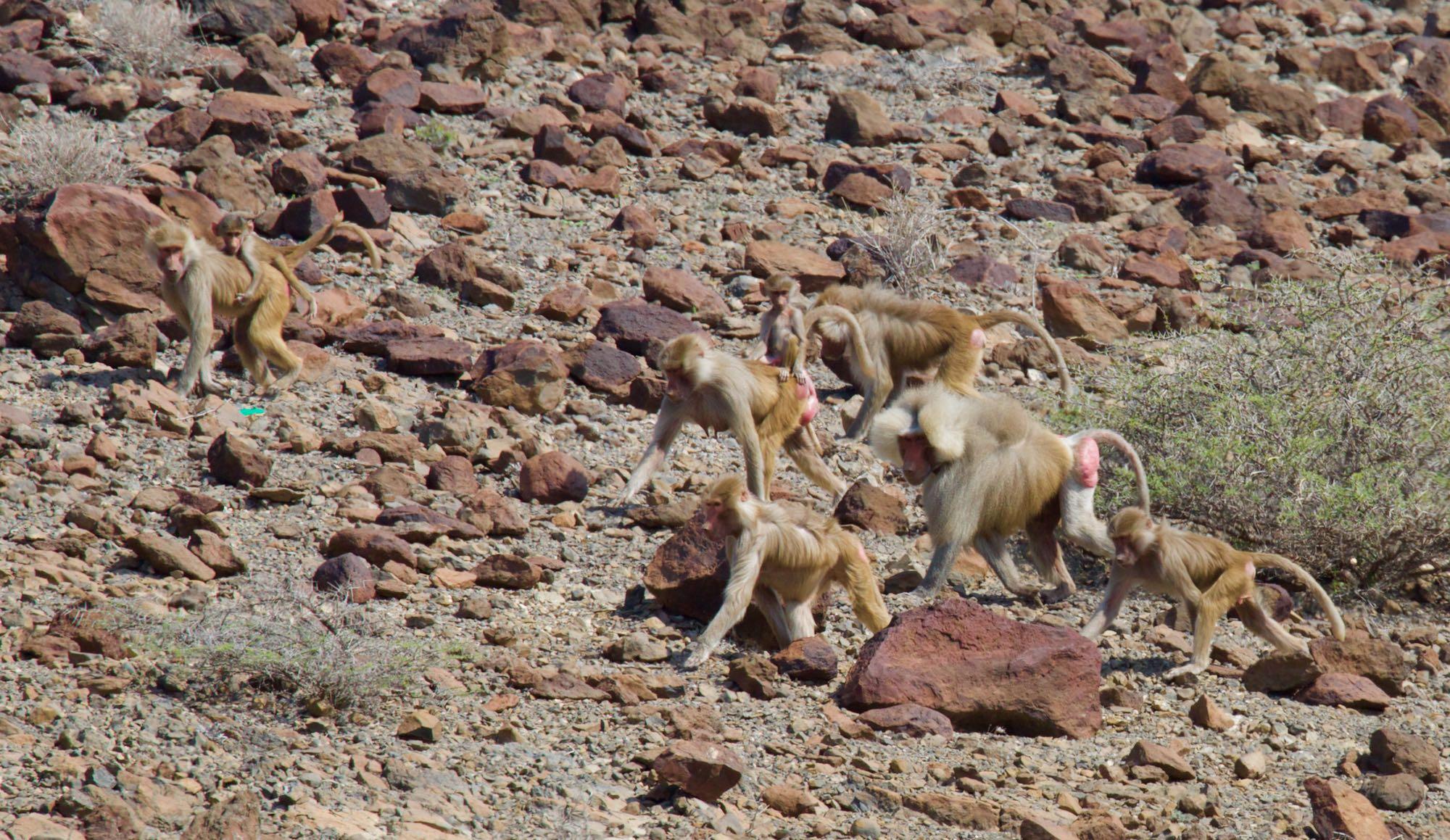 decan assamo babouins
