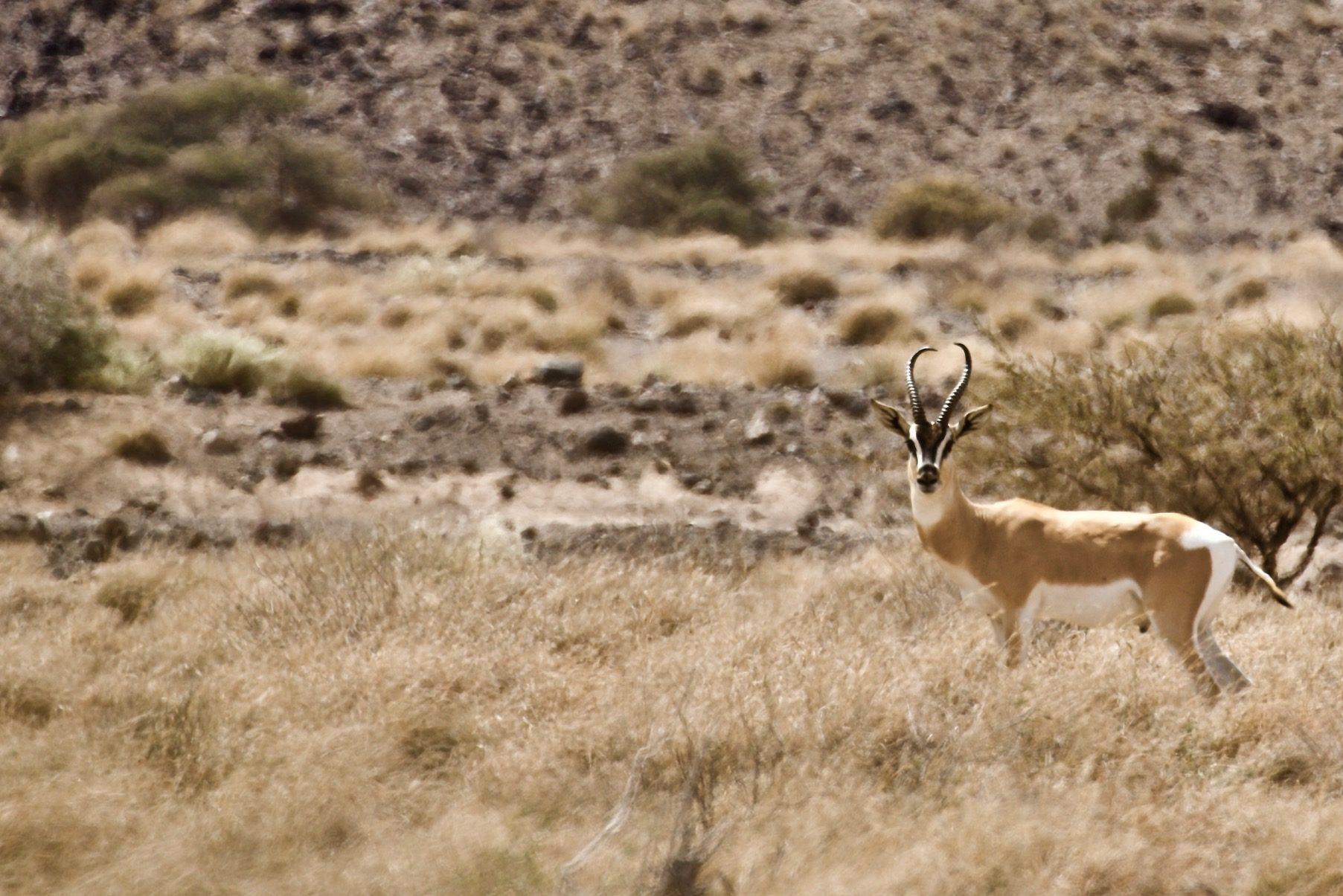 decan djalelo Gazelle de Soemmering