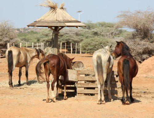 Un nouvel enclos ravit les 4 chevaux du refuge