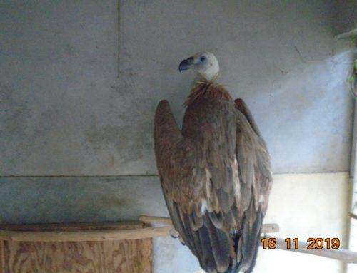 Arrivée de Nelson, vautour fauve, au refuge